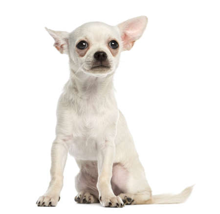 Chihuahua puppy, 3 months old, sitting, isolated on white