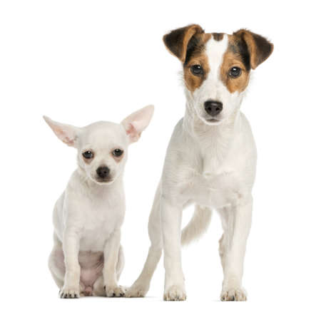 Chihuahua puppy and Jack Russell Terrier, next to each other, isolated on white photo