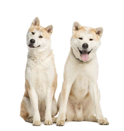 akita: Two Akita Inu sitting, 2 years old, isolated on white Stock Photo