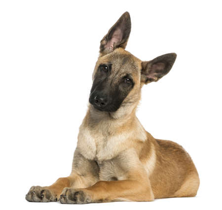 chien: Young Belgian Shepherd lying down and staring, 5 months old, isolated on white