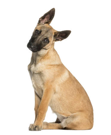 facing: Belgian Shepherd sitting and facing, 5 months old, isolated on white