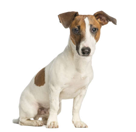 jack russell terrier:  Jack Russell Terrier, sitting and looking at the camera, isolated on white Stock Photo