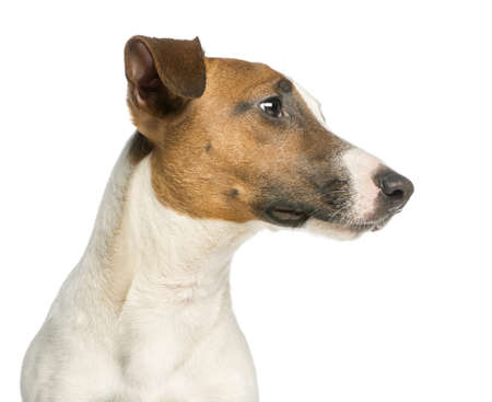 dog head: Close-up of a Jack Russell Terrier, isolated on white