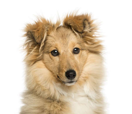 Close-up of Border Collie, looking at the camera, isolated on white