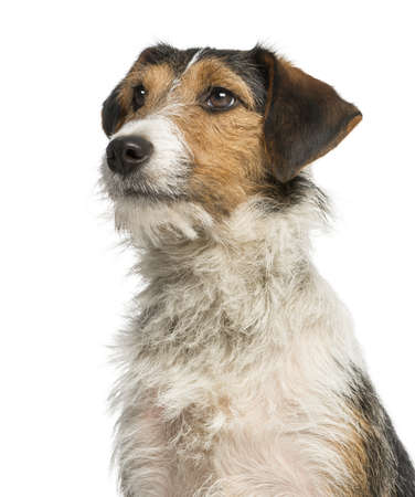 Close-up of a Fox Terrier looking up, 1 year old, isolated on white photo