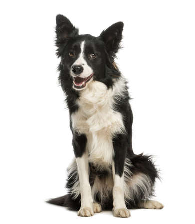 animal border: Border Collie, 1 year old, sitting and panting, isolated on white