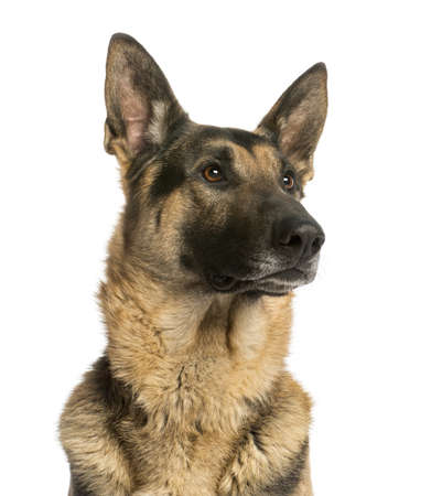 german shepherd dog: Close-up of a German shepherd looking away, 4,5 years old, isolated on white Stock Photo