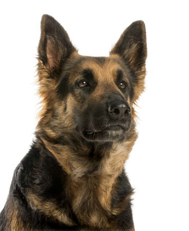 alsatian shepherd: Close-up of a German shepherd looking away, 4 years old, isolated on white