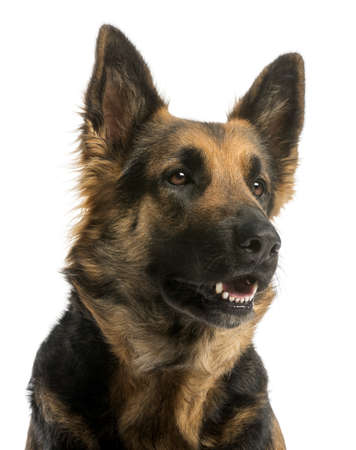 alsatian shepherd: Close-up of a German shepherd looking away with open mouth, 4 years old, isolated on white