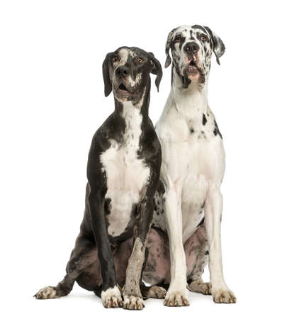 surprised dog: Two Great Danes sitting and looking away, 1 year old,  isolated on white Stock Photo