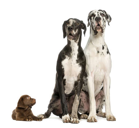 great dane: Two Great Danes sitting and looking away and puppy chocolate labrador staring at them, isolated on white
