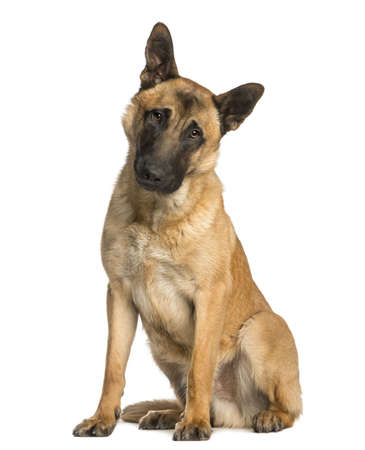 Belgian Shepherd sitting with a  wondering look, 10 months old, isolated on white photo