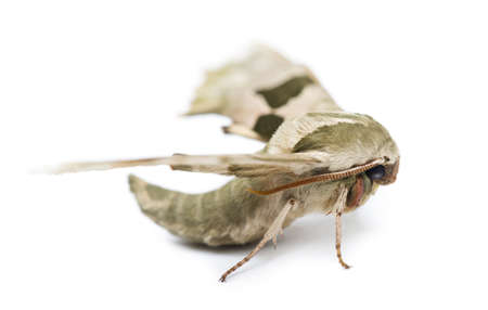 Lime Hawk-moth, Mimas tiliae, against white background Stock Photo - 19583060