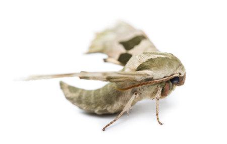 tiliae: Lime Hawk-moth, Mimas tiliae, against white background Stock Photo