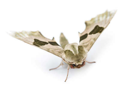 mimas: Lime Hawk-moth, Mimas tiliae, against white background Stock Photo