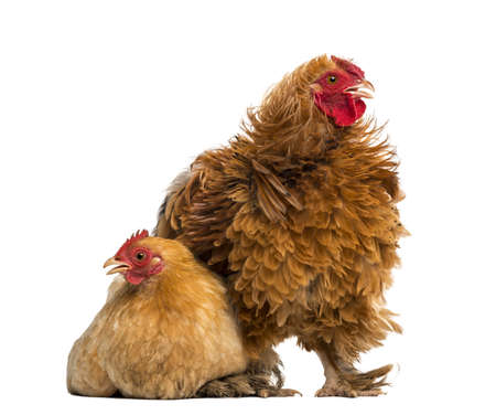 bantam hen: Crossbreed rooster, Pekin and Wyandotte, standing next to a Pekin bantam hen lying against white background