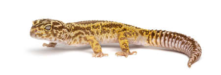 Leopard gecko, Eublepharis macularius, against white background photo