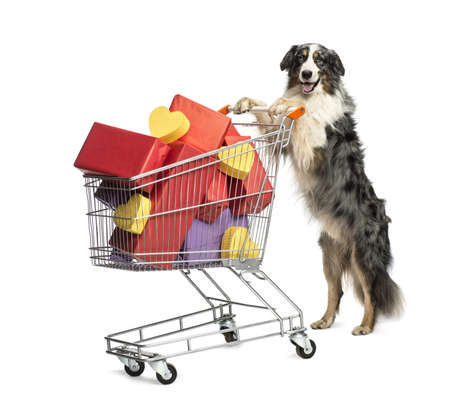 Australian Shepherd pushing a shopping cart full of presents against white background photo