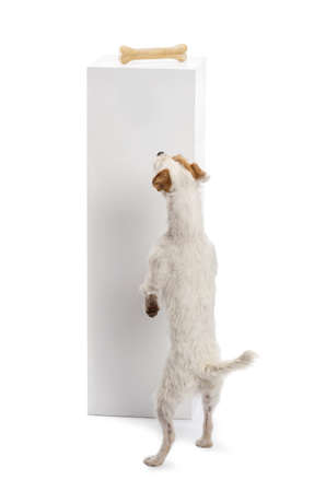 Rear view of a Parson Russell terrier standing against a pedestal and looking at the bone on the top of it against white background photo