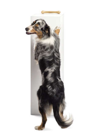 hind: Australian Shepherd standing on hind legs and trying to reach a bone on the top of a pedestal against white background