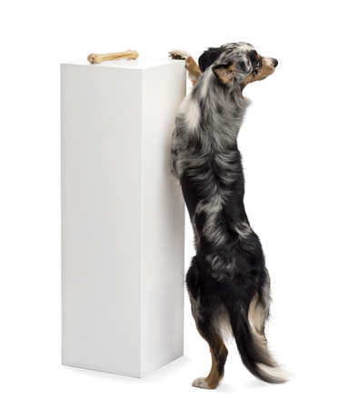 australian shepherd: Australian Shepherd standing on hind legs and trying to reach a bone on the top of a pedestal against white background