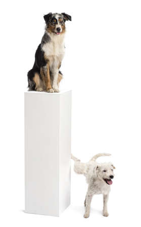 Parson Russell terrier urinating on a pedestal with an Australian Shepherd sitting on the top of it against white background photo