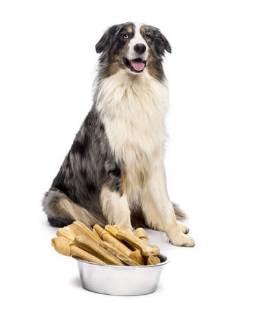 Australian Shepherd sitting with a bowl full bones in front of him against white background photo