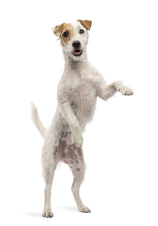 looking through window: View througth a glass of a Parson Russell Terrier on hind legs, leaning against the glass against white background Stock Photo