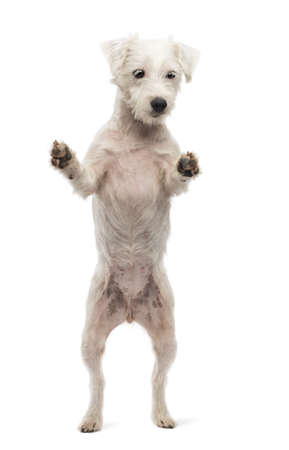 View througth a glass of a Parson Russell Terrier on hind legs, leaning against the glass against white background photo