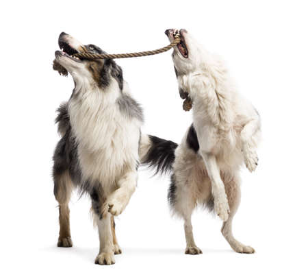 Border Collie and Australian Shepherd playing with a rope against white background photo