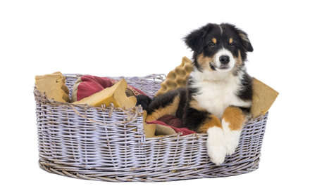 australian shepherd: Australian Shepherd, 3 months old, lying in dog bed against white background