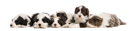 Group of Bearded Collie puppies, 6 weeks old, sleeping in a row against white background photo