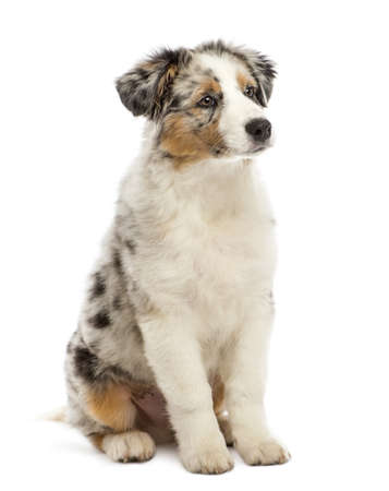 Australian Shepherd puppy, 3 months old, sitting and looking away against white background photo