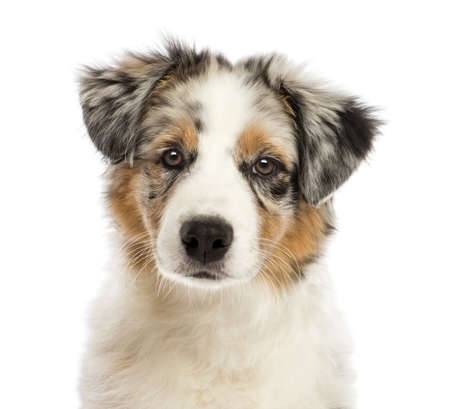 Close up of an Australian Shepherd puppy, 3 months old, looking at camera against white background photo