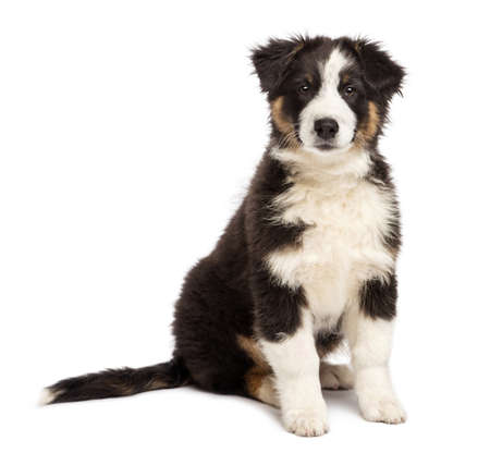 Australian Shepherd puppy, 3 months old, sitting and looking at camera against white background photo