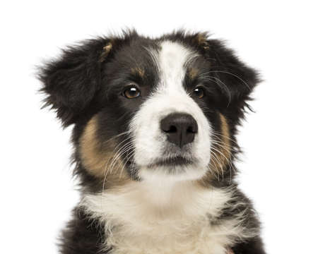 australian shepherd: Close up of an Australian Shepherd puppy, 3 months old, looking away against white background