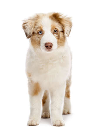 Australian Shepherd puppy, 3 months old, standing and looking at camera against white background photo
