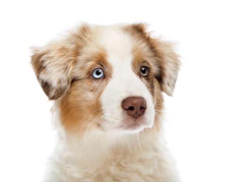 Close up of an Australian Shepherd puppy, 3 months old, looking away against white background photo