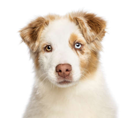 Close up of an Australian Shepherd puppy, 3.5 months old, looking at camera against white background photo