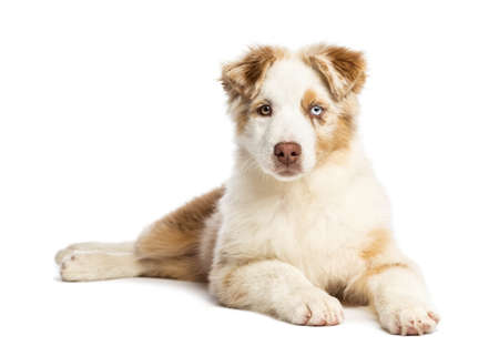 Australian Shepherd puppy, 3.5 months old, lying and looking at camera against white background photo