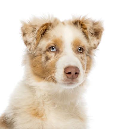 Close up of an Australian Shepherd puppy, 3.5 months old, looking away against white background photo