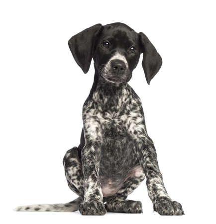 pointer dog: German Shorthaired Pointer, 10 weeks old, sitting against white background