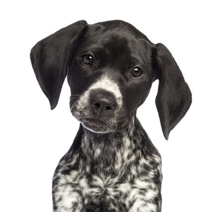 pointer dog: German Shorthaired Pointer, 10 weeks old, close up against white background Stock Photo