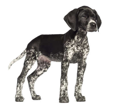 German Shorthaired Pointer, 10 weeks old, against white background photo