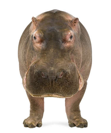 hippopotamus: Hippopotamus - Hippopotamus amphibius, frente a la cámara, aislado en blanco