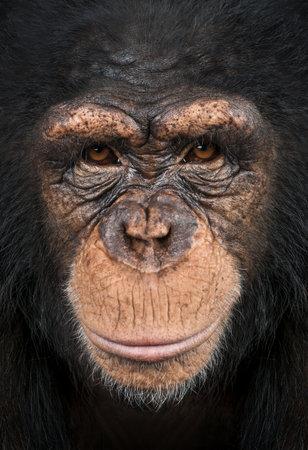 troglodytes: Close-up of a Chimpanzee looking at the camera, Pan troglodytes