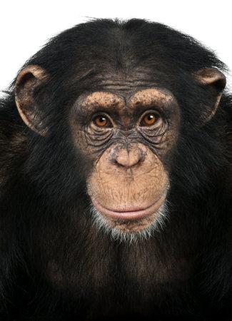 chimpanzee:  Close-up of a Chimpanzee looking at the camera, Pan troglodytes, isolated on white