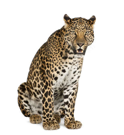 leopard: Leopard sitting, roaring, Panthera pardus, isolated on white Stock Photo