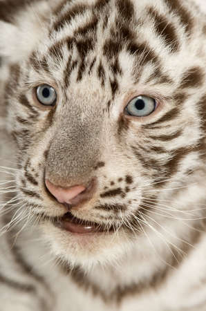 tiger cub: Gros plan sur un tigre blanc cub (2 mois)