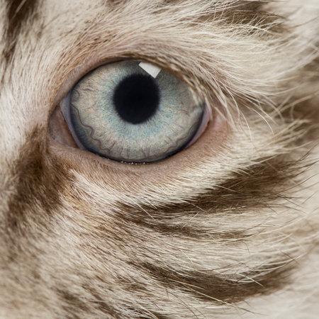 tigre cachorro: Macro de un Cachorro de tigre blanco del ojo (2 meses)